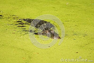 Alligator Lurking in an Algae Filled Lake Facing