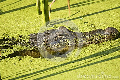 Alligator Lurking in an Algae Filled Lake Profile