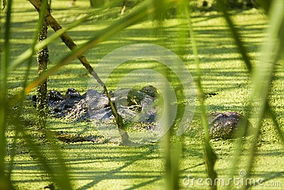 Alligator Lurking Behind Reeds