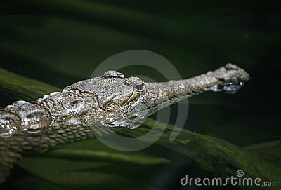 Alligator (orientation sur l oeil)