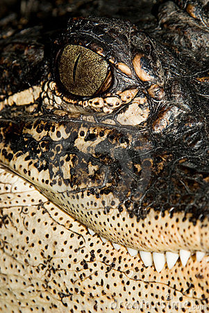 Alligator Portrait #2