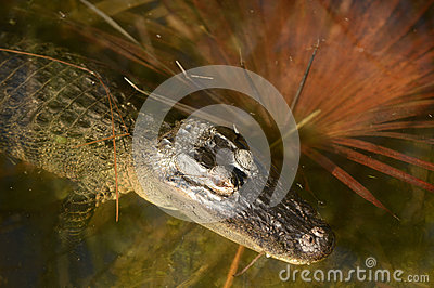 Alligator relaxing in water