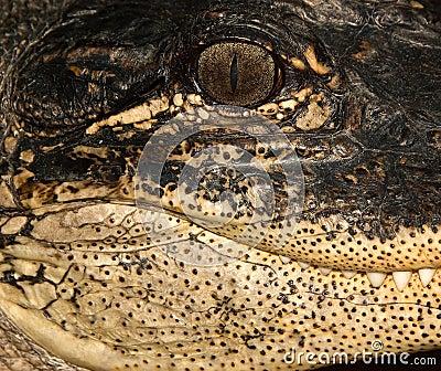 Alligator Side Portrait