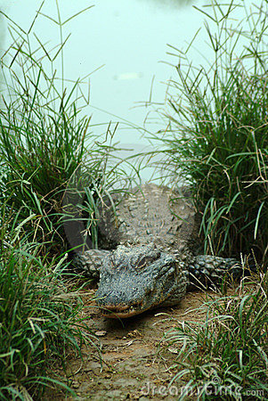 Free Alligator Sinensis Royalty Free Stock Photo - 4776295