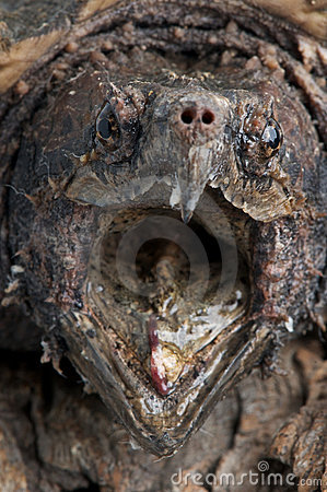 Free Alligator Snapping Turtle Royalty Free Stock Images - 14615279