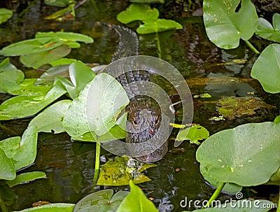 Alligator Stalking
