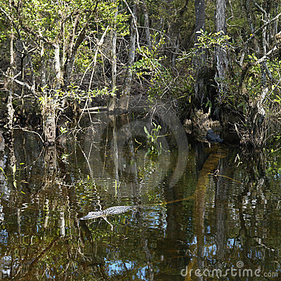 Alligator swimming in Florida Everglades.