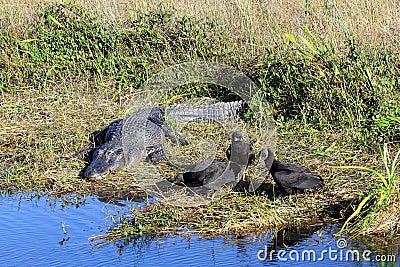 Alligator and Vultures