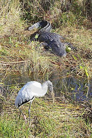 Alligator and Woodstork