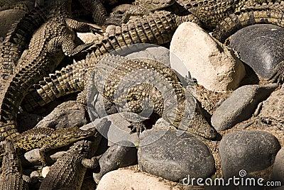 Alligators (Alligator Mississippiensis)