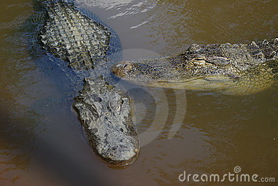 Alligators américains