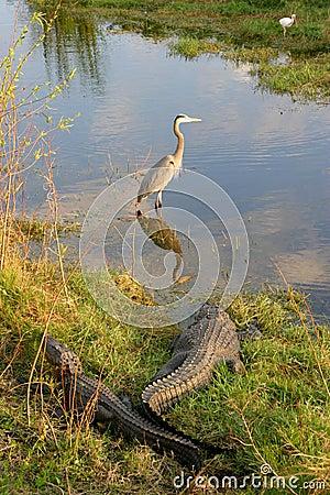 Alligators and Birds