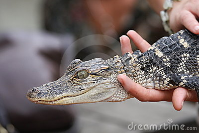 Alligators can be a real handful