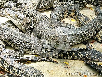 Alligators competition