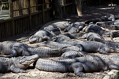 Alligators Lying in Alligator Pit