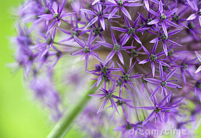 Allium Bloom