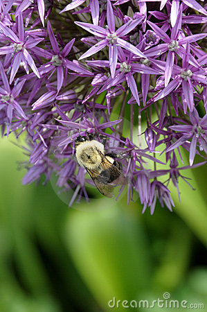 Allium and bumblebee