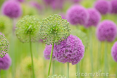 Allium Flower Background