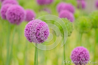 Allium flower close up