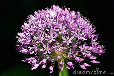 Allium flower,Purple sensation