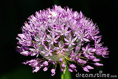 Allium flower,Purple sensation