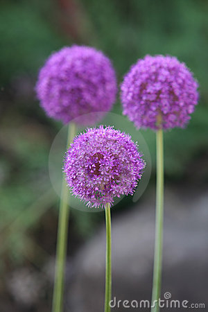 Free Allium Giganteum Royalty Free Stock Images - 1093429
