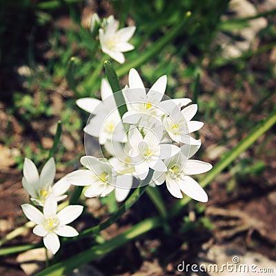 Free Allium Humile, Wild Onion Flowers. Aged Photo. Royalty Free Stock Images - 54444669