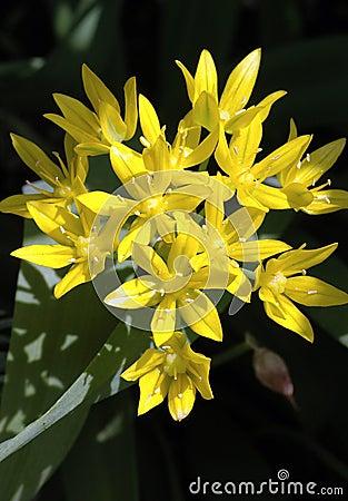 Free Allium Moly Stock Photos - 931713
