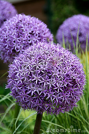 Allium purple bulbs