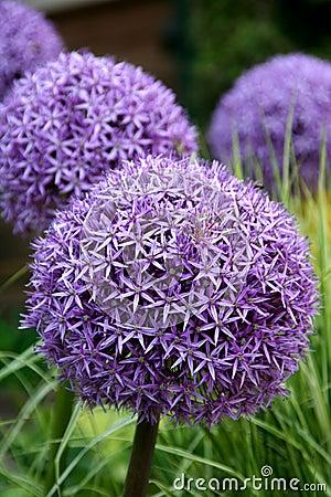 Free Allium Purple Bulbs Royalty Free Stock Images - 14492019
