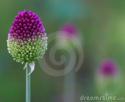 Allium sentries