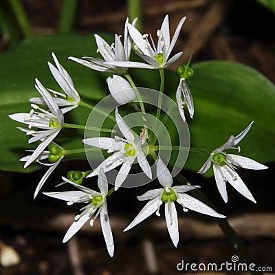 Allium ursinum / ramsons