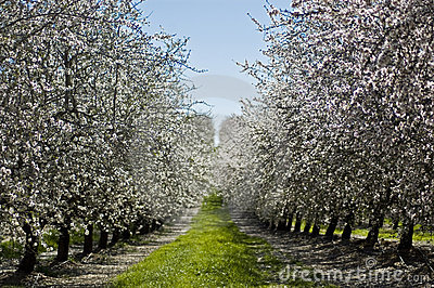 Almod Trees in an Orchard