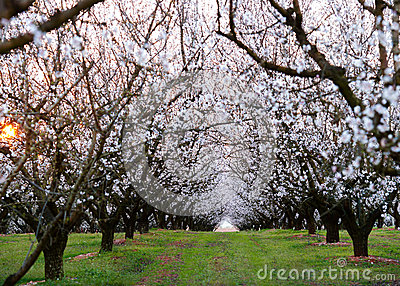 Almond field at sunset
