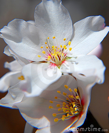 Almond flower close up