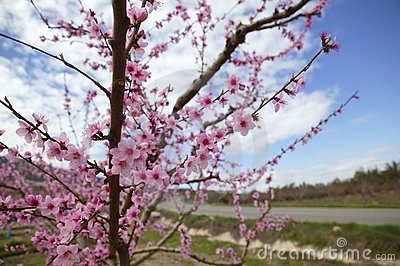 Almond flower trees field  pink white flowers