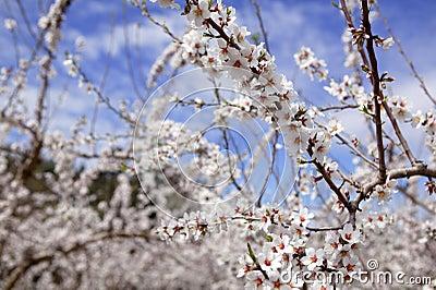 Almond flower trees field  pink white flowers