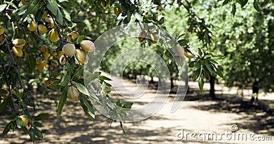California Nuts Almond Orchard Summer Sunshine