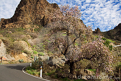 Almond tree in Canary mountain