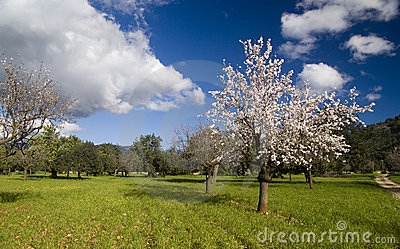 Almond tree in countryside
