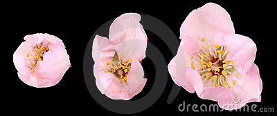 Almond tree flower isolated