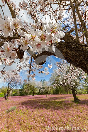 Free Almond Tree Flowers On A Branch Shot In Early Spring In Cyprus Stock Photos - 112674073