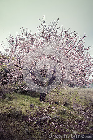 Free Almond Tree In Blossom Royalty Free Stock Photos - 37619298