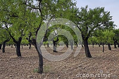 Almond trees
