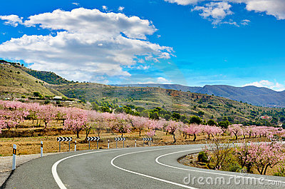 Almond Trees Blooms on both sides of a road, Spain