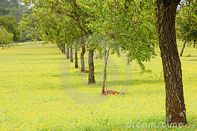 Almond Trees Plantation