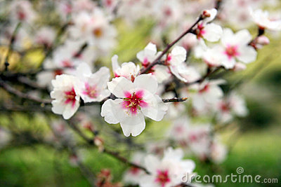 Almonds tree flowering branch