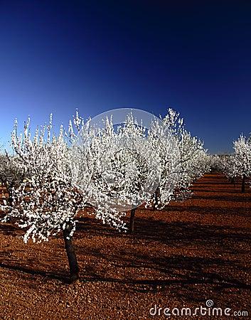 Almonds tree in Mallorca