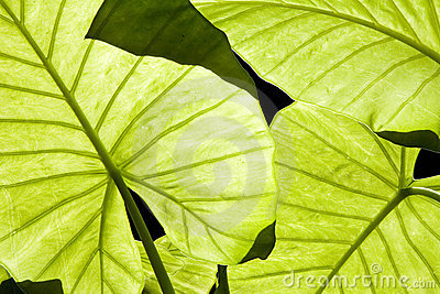 Alocasia green leaves