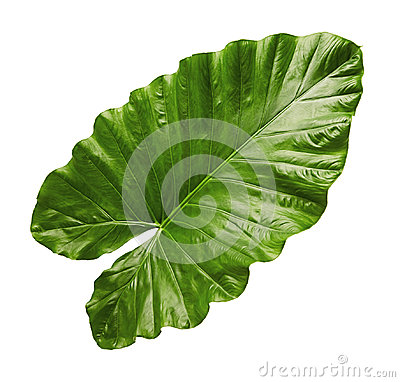 Free Alocasia Odora Foliage Night-scented Lily Or Giant Upright Elephant Ear, Exotic Tropical Leaf, Isolated On White Background With Stock Photography - 99185872
